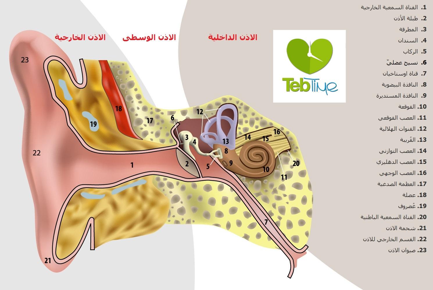 تشريح الأذن %D8%A7%D9%82%D8%B3%D8%A7%D9%85%20%D8%A7%D9%84%D8%A7%D8%B0%D9%86%20-%20TEBTIME1