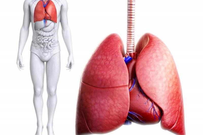 أجزاء الرئتين Lungs-1