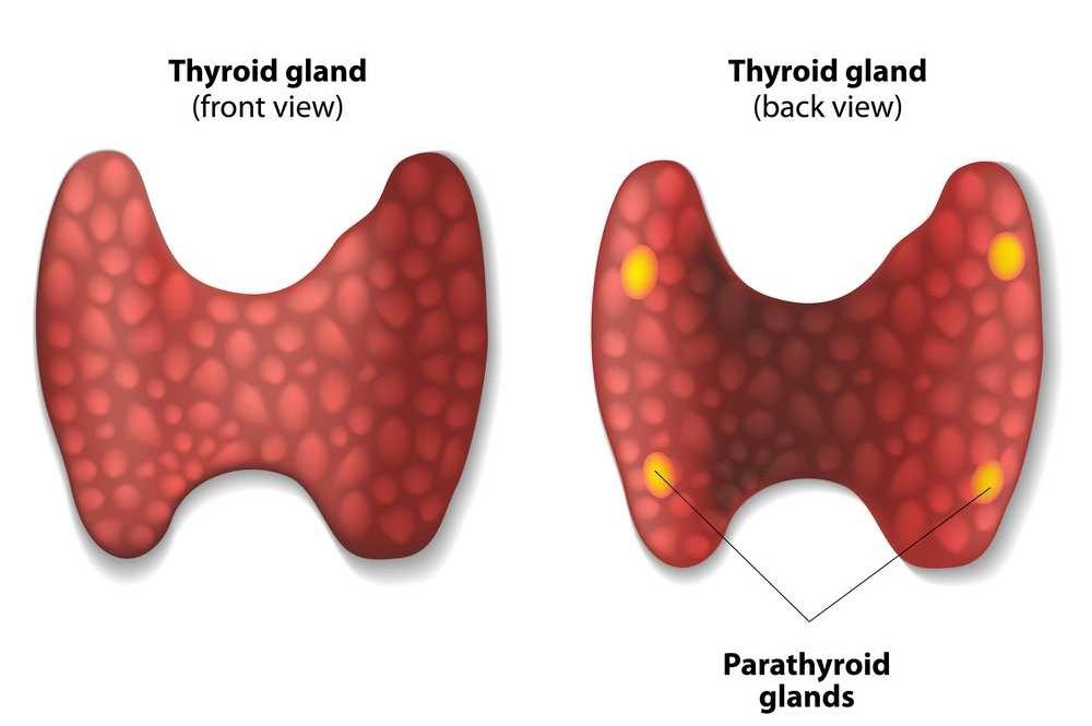 غدد الدريقيات (Parathyroid Glands)  Parathyroid-gland-2